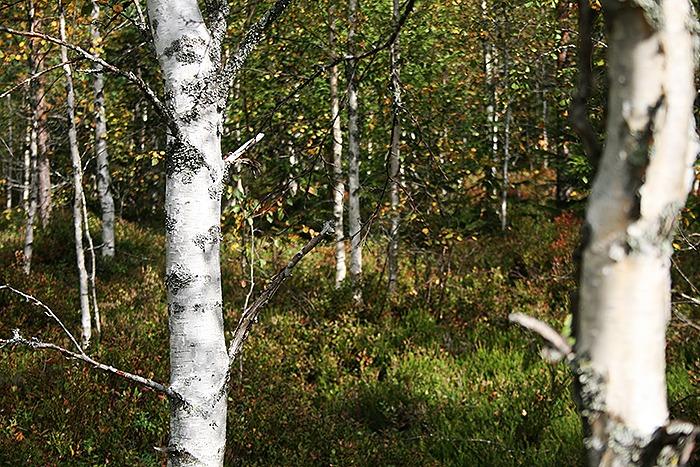 skogen_björkar
