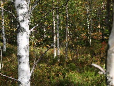 Skogspromenad i älgjaktstider