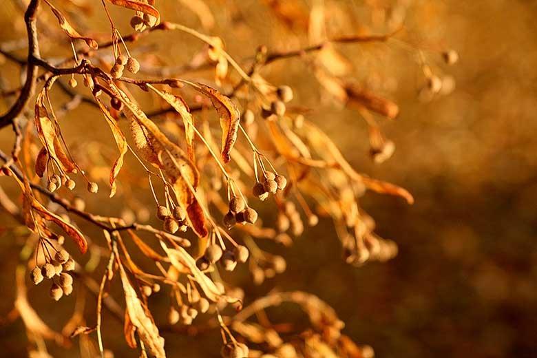Lindens frön