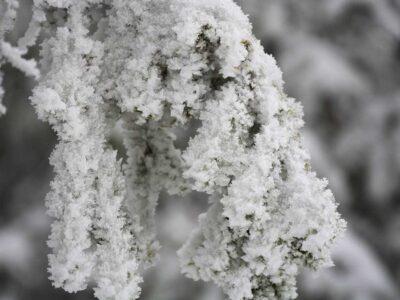 Isig skog