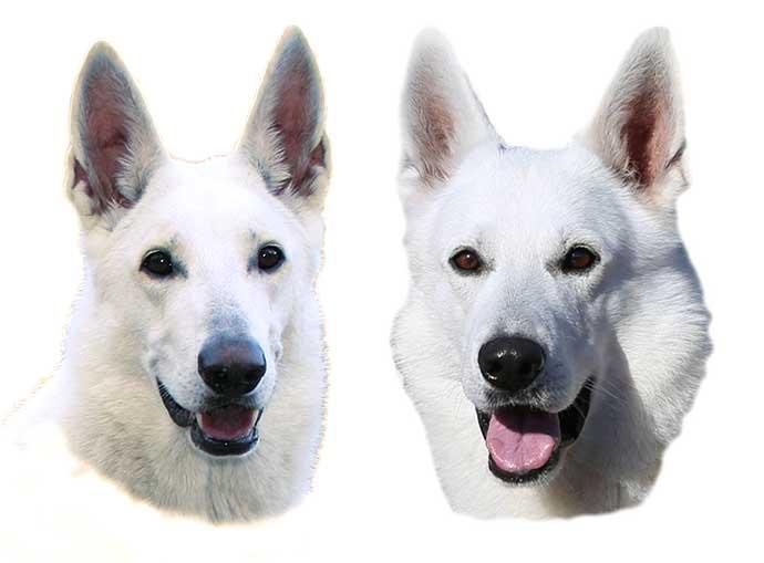 Valpplaner, Vit herdehund, Sunnatorps LIke a WIld Sally + Xeno vom Sutumer Grund