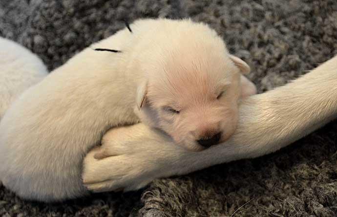 Svart hane, vit herdehund