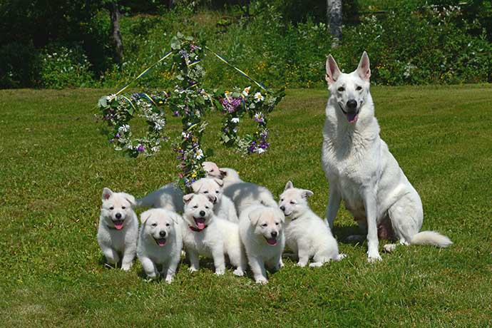White Swiss Shepherd Dog with puppies at Swedish Midsummer by Helén Thalén