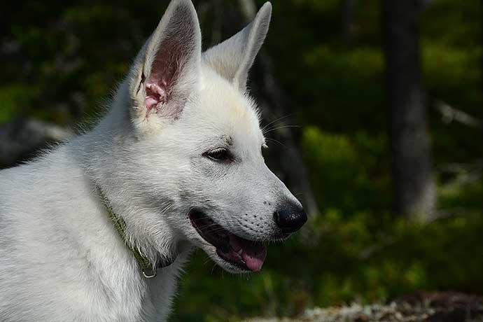 Nova - Vitherdehund - av Helen Thalén