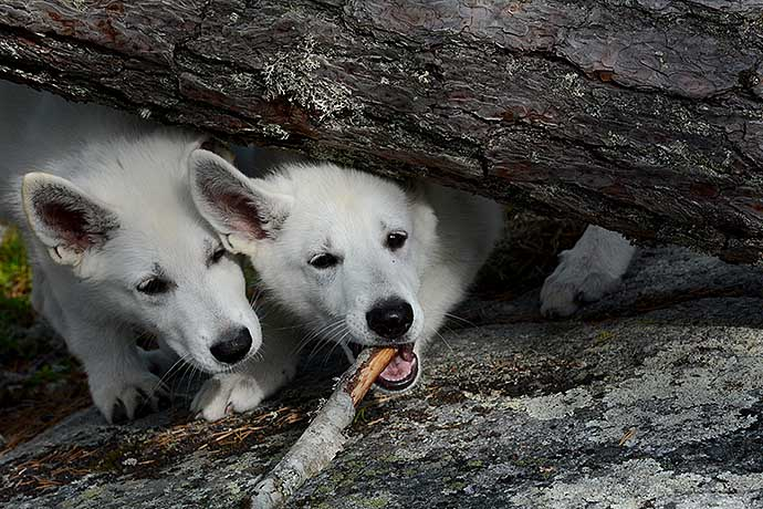 Systrarna Bus - White Swiss Shepherd Dog puppies