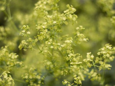 Daggkåpans gröna blommor
