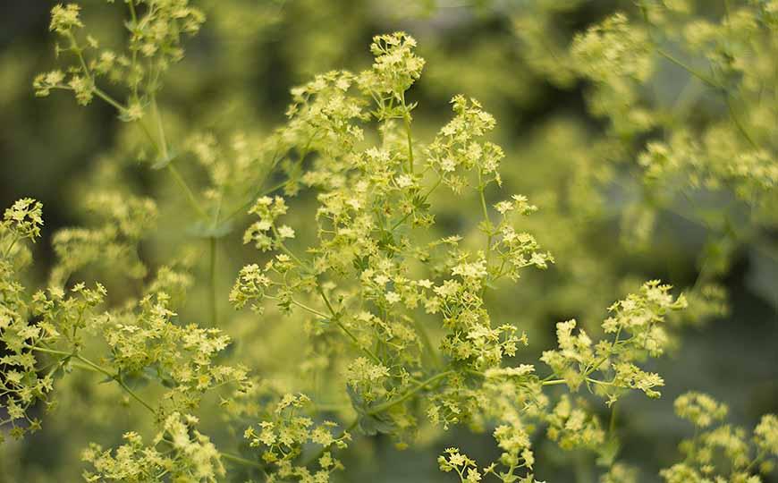 Daggkåpans gröna blommor av Helen Thalen