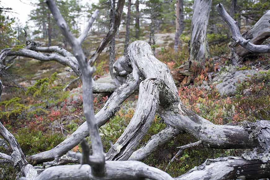 Knotigt gammalt träd i Hummelviks naturreservat av Helen Thalen