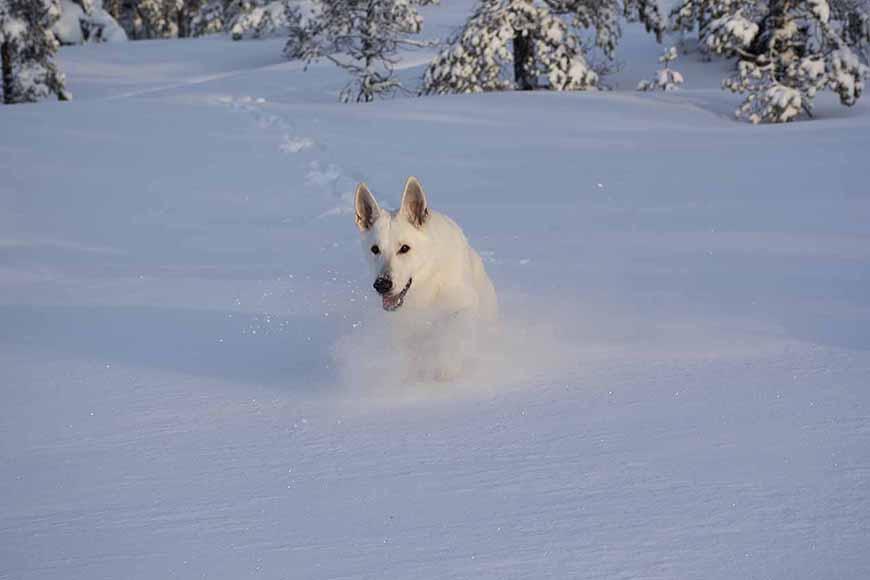 Vit herdehund springer i full fart i djupsnön av Helen Thalen