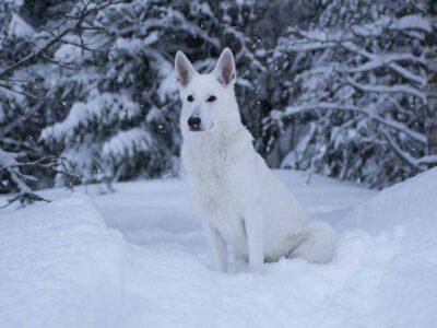 Nova, en Vit herdehund
