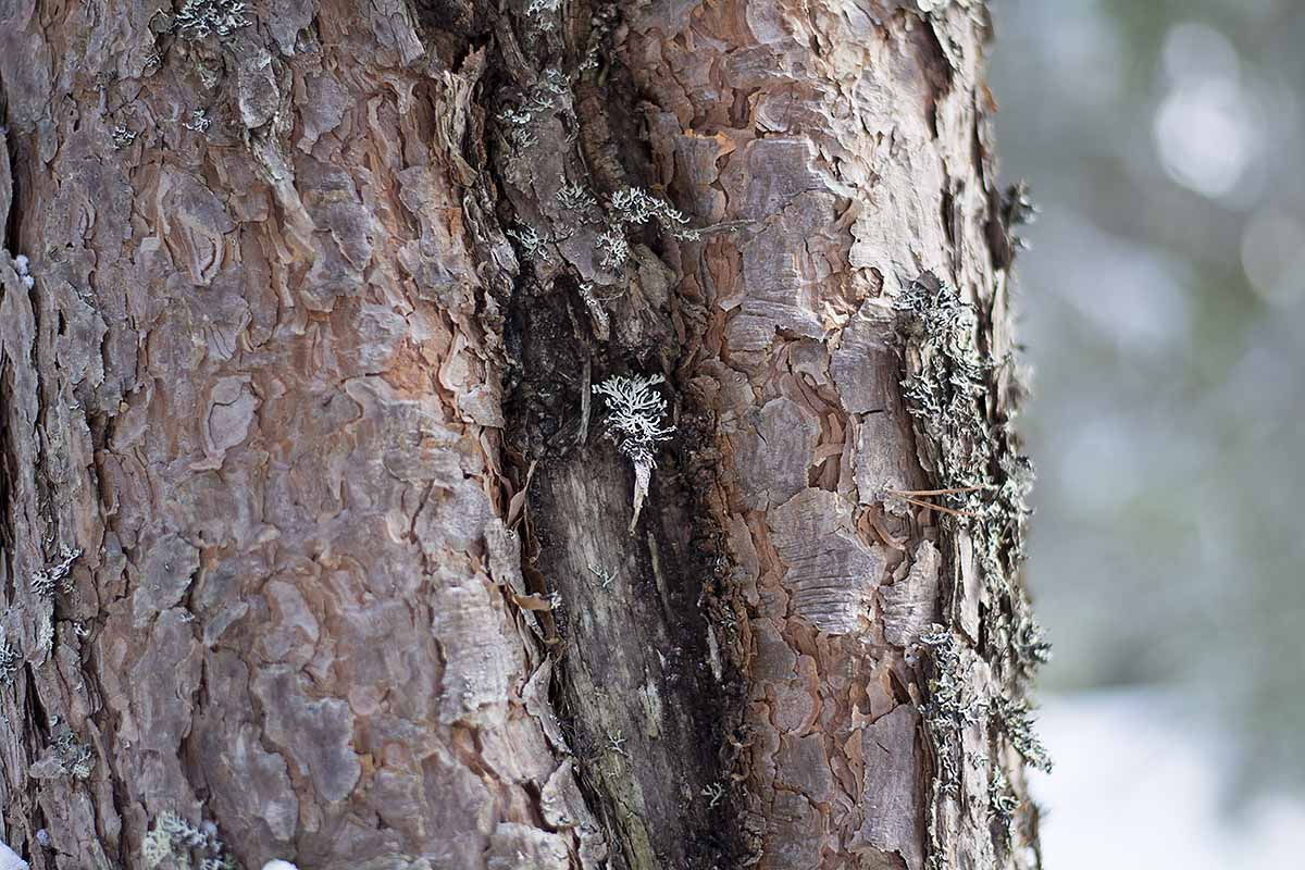 Grov bark av olika sort