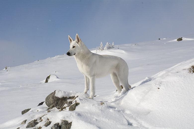 Stella-Nova, Vit herdehund, på Hovdehögen av Helen Thalen