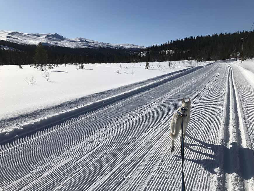 Skidåkning med Vit herdehund i Bydalen av Helen Thalen