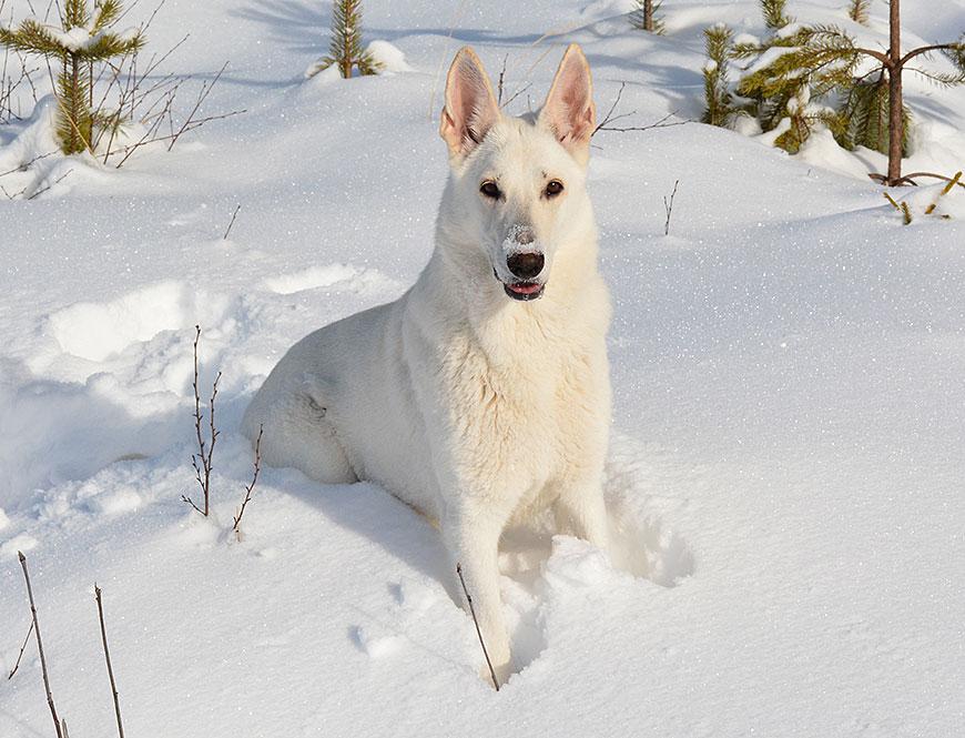 Vit herdehund, Sunnantorps Like a Wild Sally av Helen Thalen