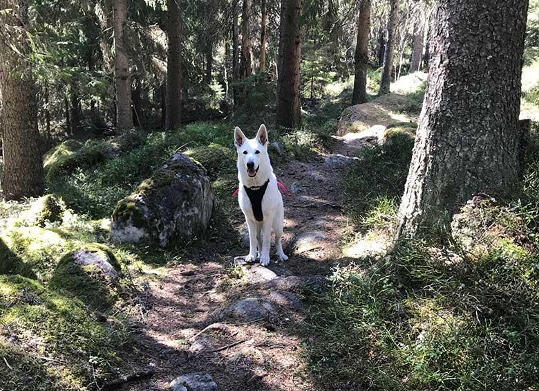 Nova, Vit herdehund, längs Gula leden på Åsberget av Helen Thalen