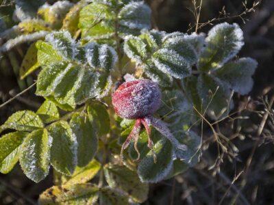 91: Frostnupen (289/365)