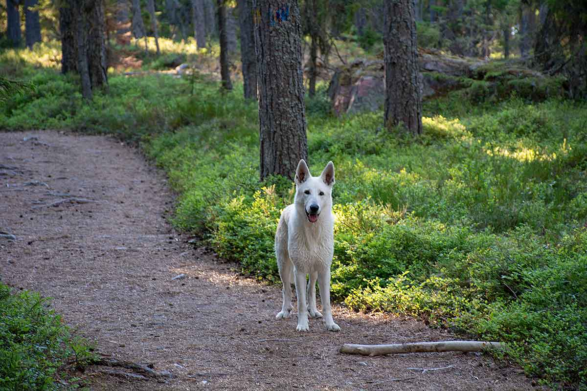 Nova, VIt herdehund, på promenad på Trysunda av Helen Thalen