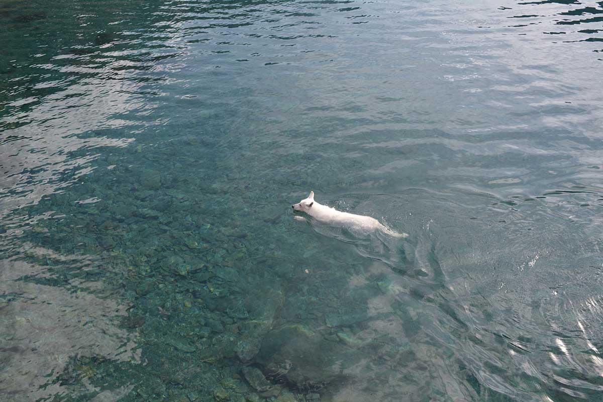Vit herdehund simmar i Trollsjön, Abisko