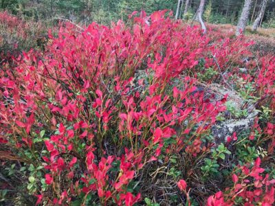 236: Röda löv (297/365)
