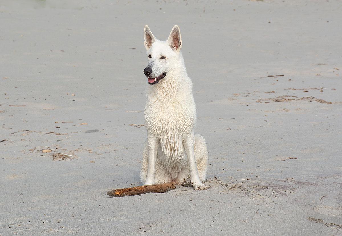 Nova, Vit herdehund av Helen Thalen