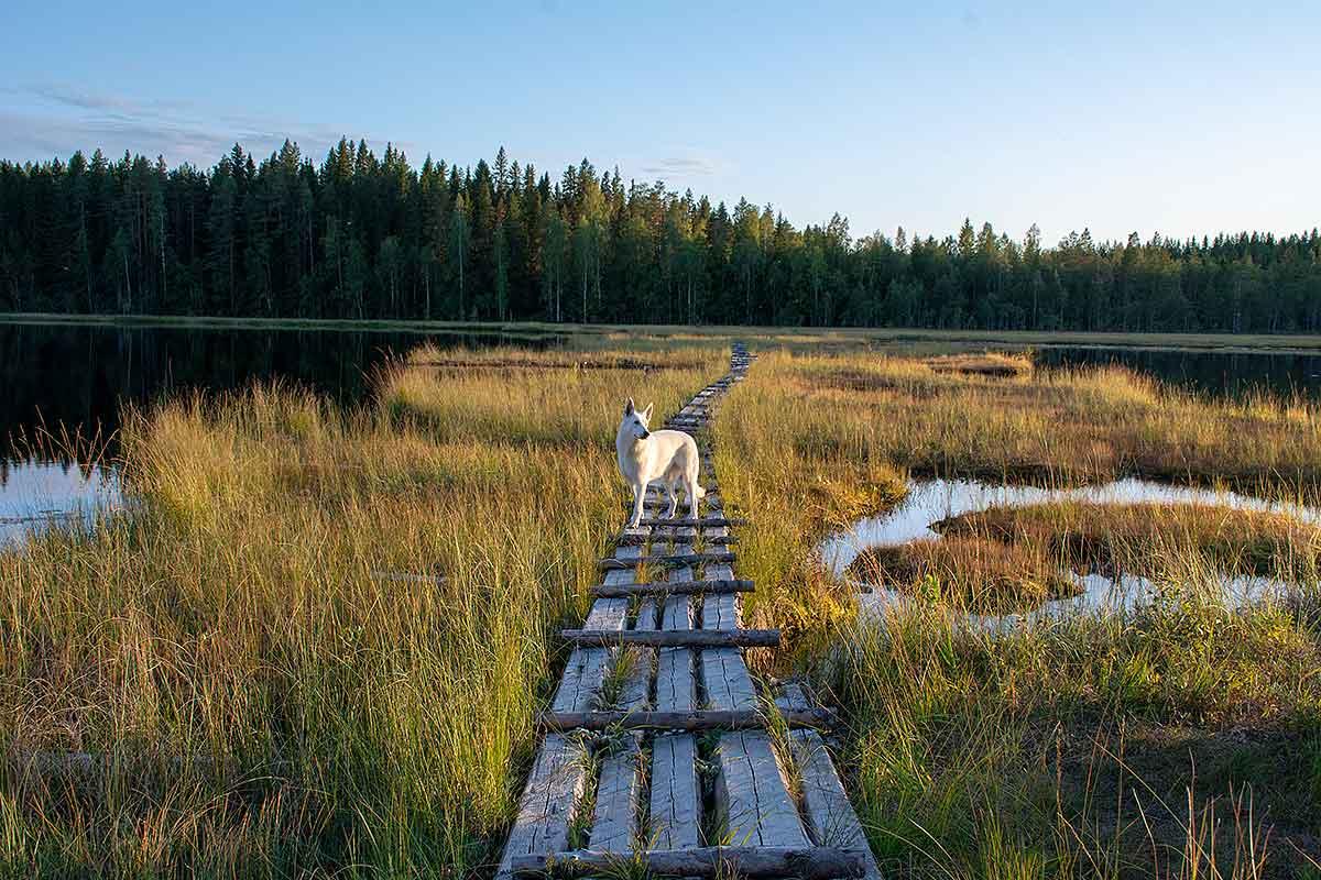 Stella-Nova, Vit herdehund av Helen Thalen