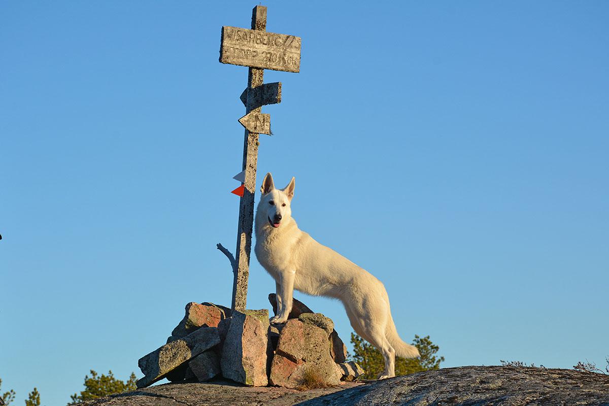 Nova, Vit herdehund, på toppen av Visarberget, Själevad, av Helen Thalen