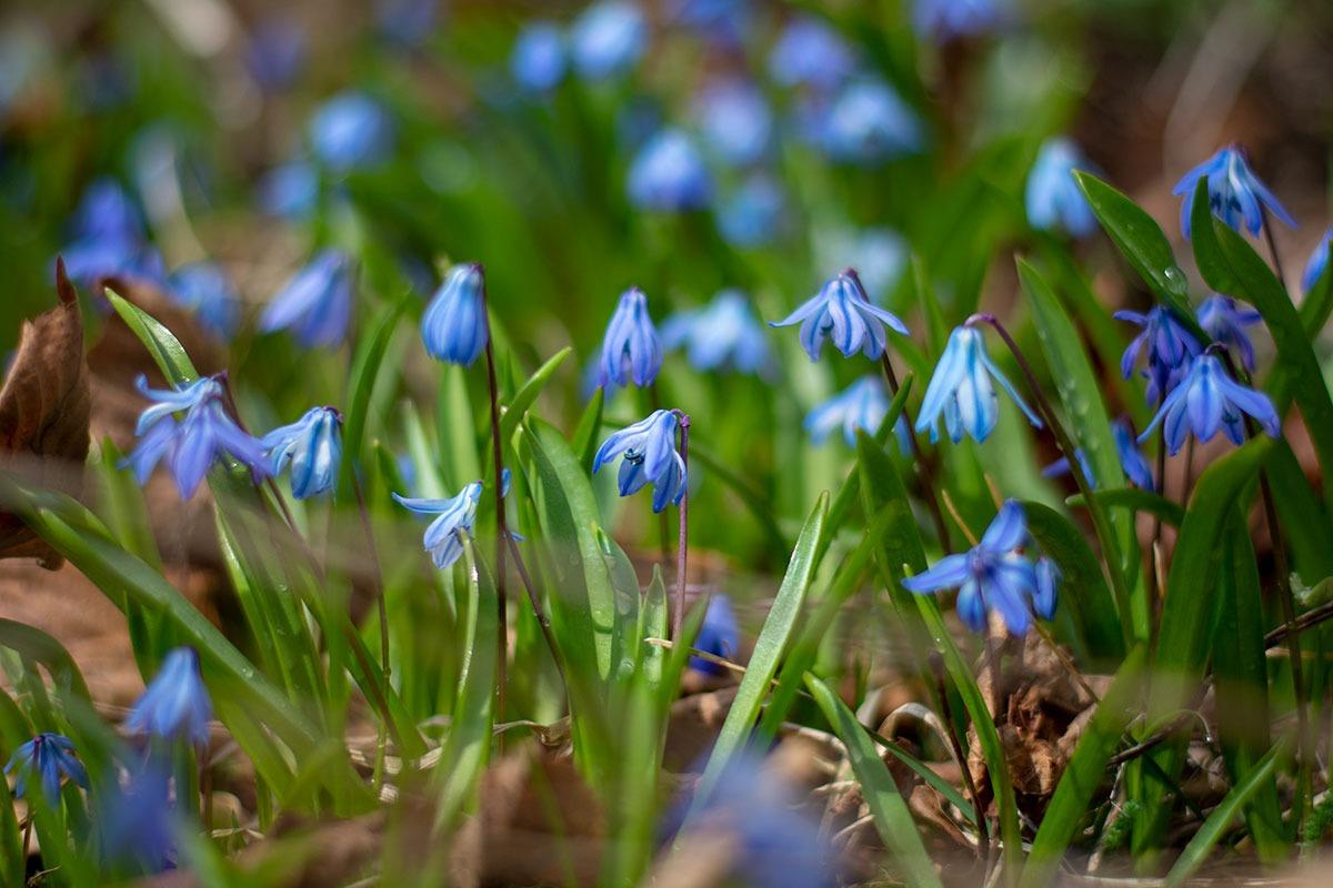 Blå Scilla fotograferad av Helen Thalen