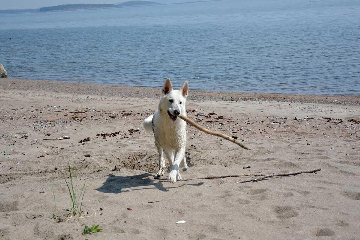 Nova, Vit herdehund, med pinne på strand i Skuleskogen