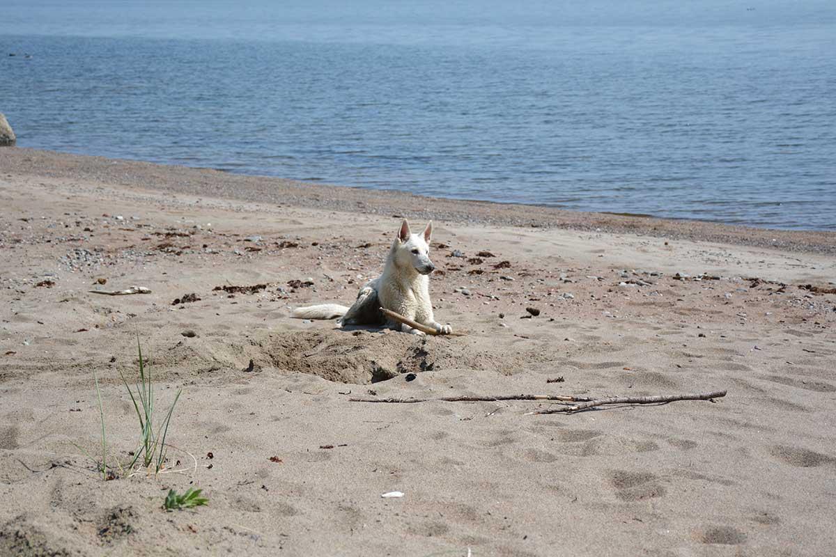 Vit herdehund på strand i Höga Kusten