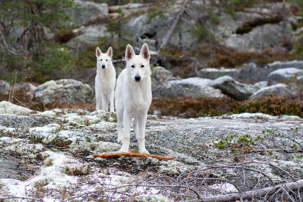 White Swiss Shepherddogs in Sweden