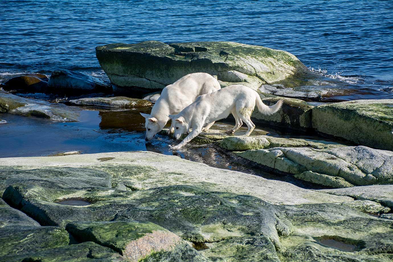 Dammar av havsvatten och smält snö där hundarna leker på Rotsidan