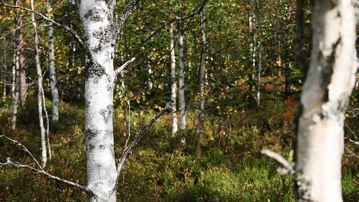Forest walk in moose hunting season