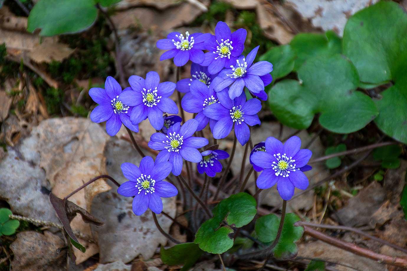24: Blå blomma (65/183)
