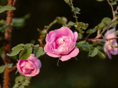 Rosa Poppius