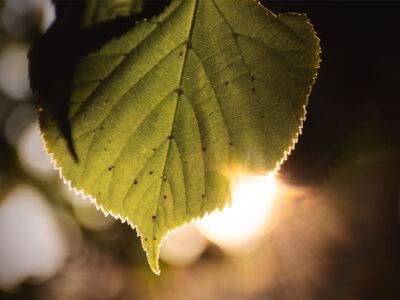 Lindlöv i kvällsljus och höstfrågor