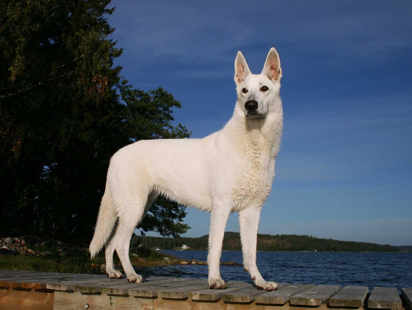 Vacker hund